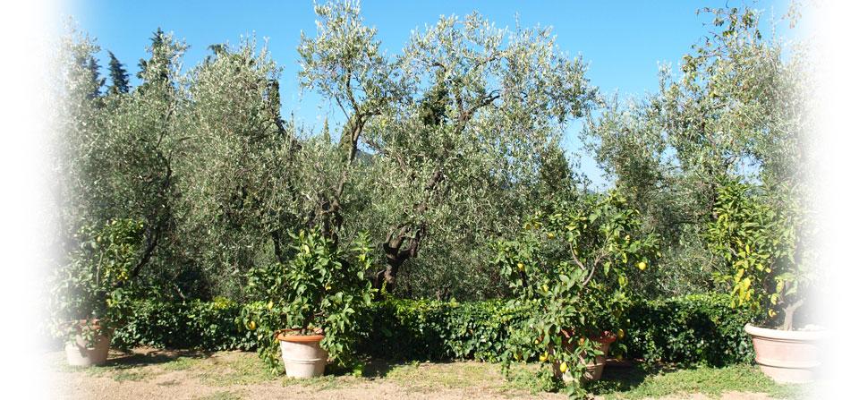 Oliventrær